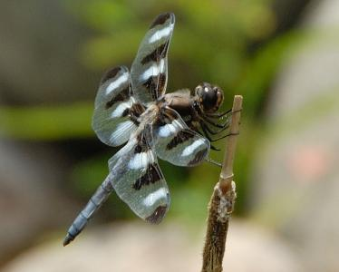 Dragon Fly resting.jpg