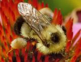 Bumble Bee on Cone Flower.jpg